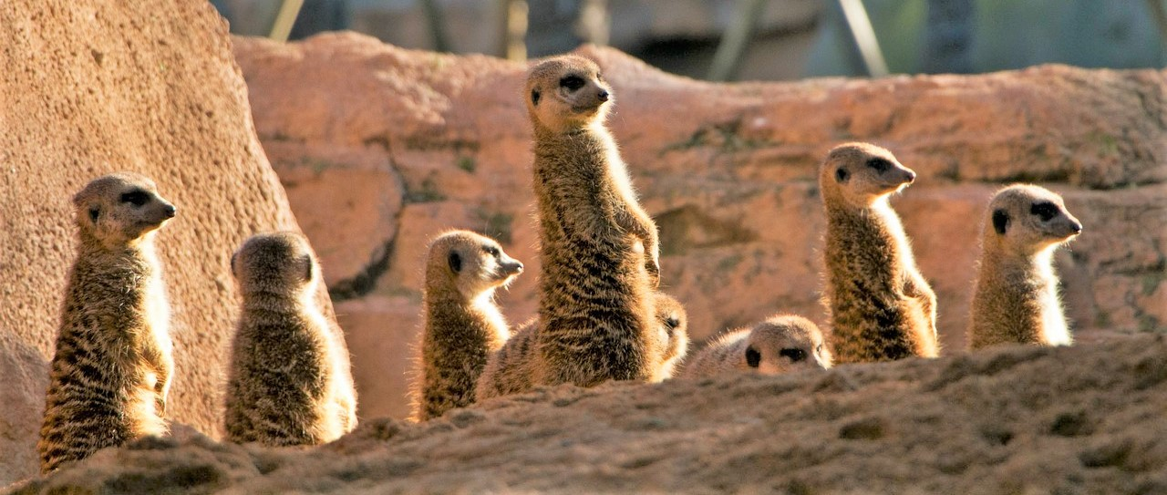 Meercats at Bioparc Valencia, Spain